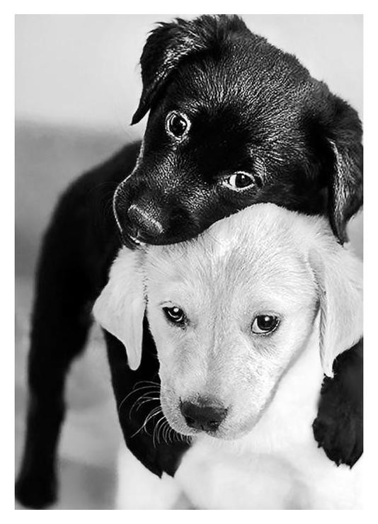 Алмазная мозаика с полным заполнением «Черный и белый щенок» 19 X 27 см Гранни