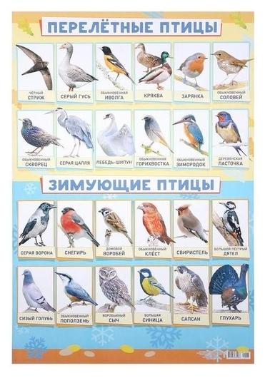 """Плакат """"Зимующие и перелётные птицы"""" А2  ЛиС"""