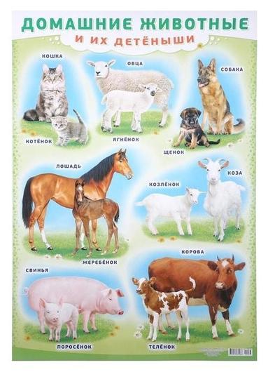 """Плакат """"Домашние животные и их детёныши"""" А2  ЛиС"""
