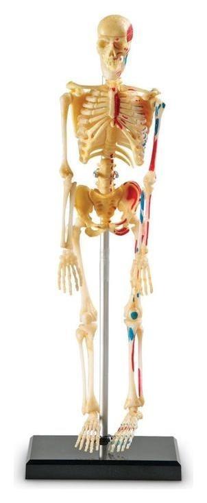 Развивающая игрушка «Анатомия человека. скелет», 41 элемент Learning Resources